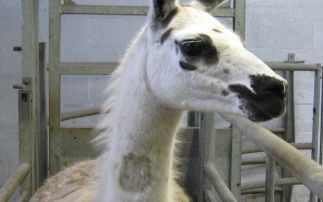 Engineered llama antibodies neutralise COVID-19 virus