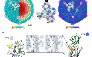 Cryo-EM structures show how vertical single β-barrel viruses manage self-assembly