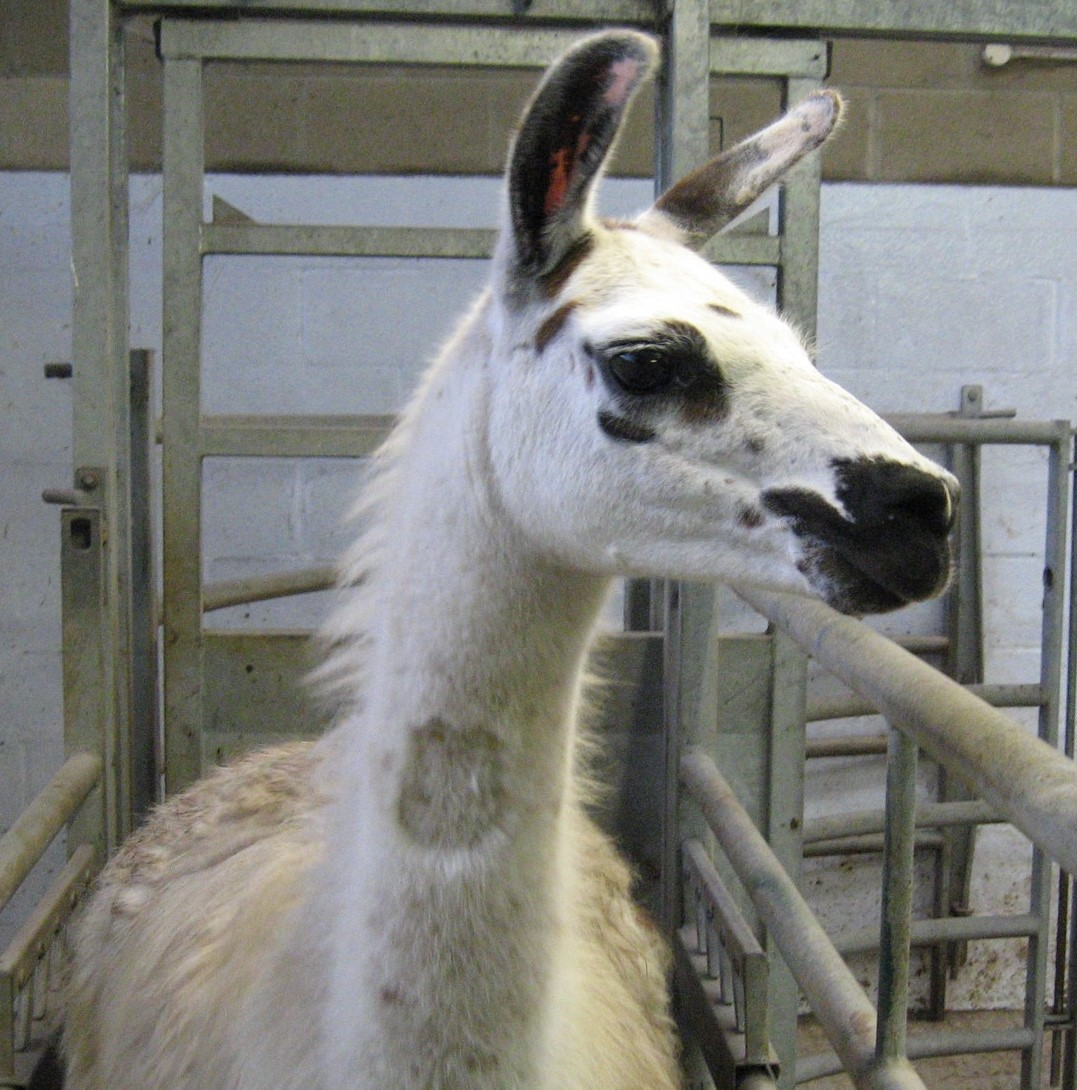 Fifi the llama (Credit: University of Reading)