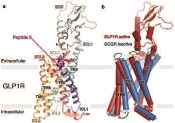 Figure 1: Structure of GLP1R in complex with Peptide 5 and conformational changes occurring