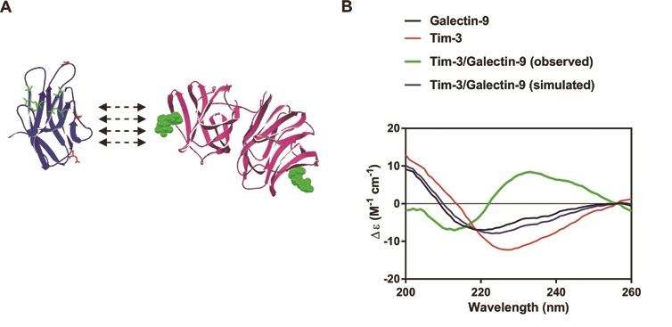 Figure 2: Tim-3-galectin-9 interaction leads to significant conformational changes possibly increasing solubility of the protein complex. (A) The schematic structural models of galectin-9 (on the right) and extracellular domain of the Tim-3 (on the left). In the structural model of the Tim-3, amino acids involved in galectin-9-independent binding are highlighted using green colour. Amino acid residues of the Tim-3, which are potential targets for glycosylation, are highlighted using red colour. (B) The SRCD spectroscopy of galectin-9, Tim-3, and the complex made by both proteins. (Adapted from Gonçalves Silva, I. et al.2)
