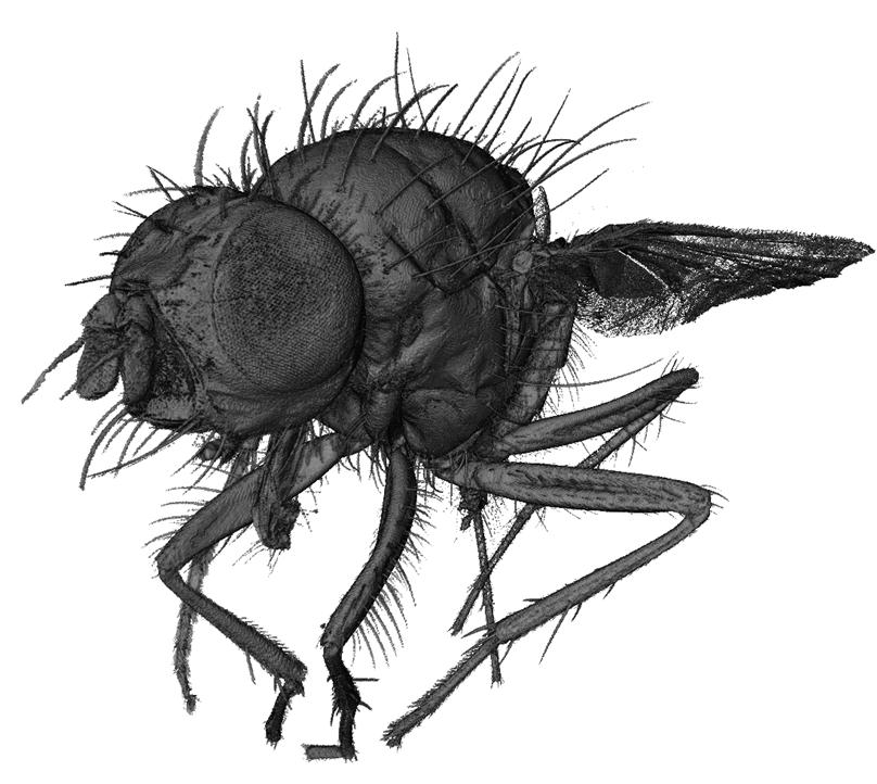 Rendered visualisation of 'Florian' the fly