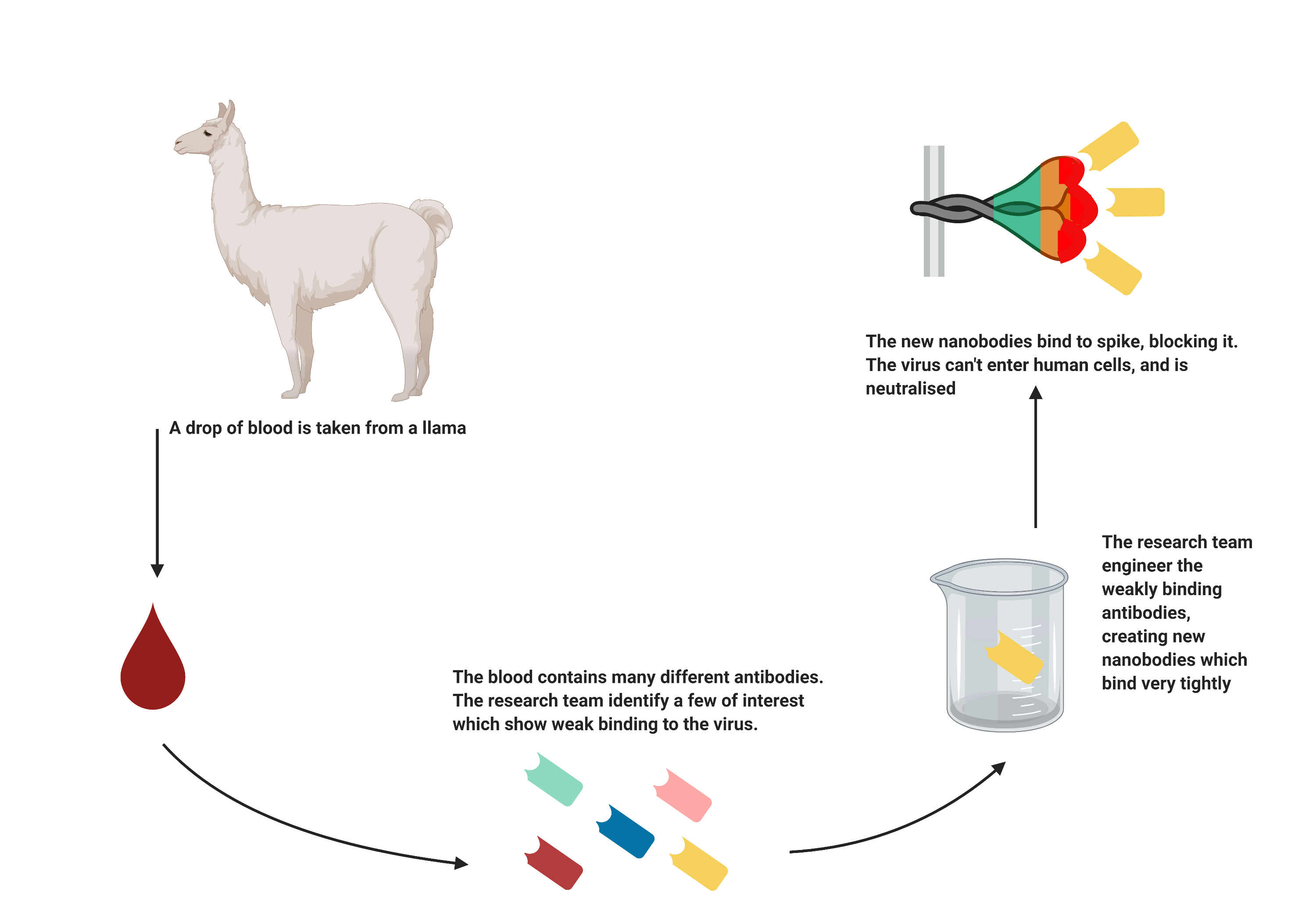 Graphic showing how blood from a llama creates new nanobodies